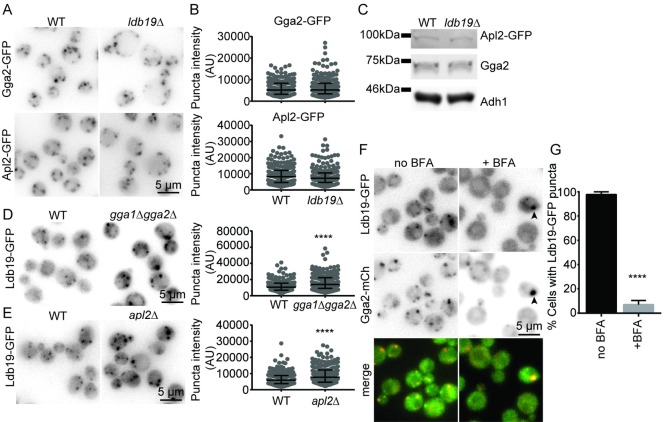 TGN clathrin adaptor localization is unaffected by deletion of LDB19 . (A) Wild-type and ldb19Δ cells expressing Gga2-GFP or Apl2-GFP were imaged. (B) Quantification of the fluorescence intensities of the punctate structures from the images in A. Graphs are of data points measured from a representative experiment showing the median and interquartile ranges (25 and 75 percentile). Each data point corresponds to a single punctate structure. AU, arbitrary units. (C) Western blot showing the protein levels of clathrin adaptor proteins in WT and ldb19Δ cells. Adh1 was used as a lysis control. Data is representative of 3 repeats. (D), (E) Wild-type and gga1Δgga2Δ or apl2Δ cells expressing Ldb19-GFP were imaged. Right, quantification of Ldb19-GFP punctate structures as in B. Non parametric Mann Whitney test was performed (****p > 0.0001). (F) erg6 Δ cells expressing Ldb19-GFP and Gga2-mCh were imaged following treatment with DMSO (no BFA) or 150μM <t>Brefeldin</t> A (+BFA). Arrowhead points to rare puncta in treated cells. (G) Quantification of the percentage cells from F that contain Ldb19-GFP puncta in the absence or presence of BFA. Non parametric t-test was performed (****p