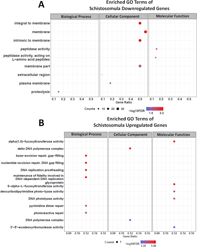 Gene Ontology terms enrichment analysis of differentially expressed genes detected by RNA-seq in schistosomula treated with GSK343. Enriched GO terms for differentially expressed genes in schistosomula, separated by downregulated genes (A) and upregulated genes (B) . The three major GO term categories, namely Biological Process, Cellular Component and Molecular Function are separately represented in each panel. The size of the circles is proportional to the number of genes in each significantly enriched category, as indicated at the lower part scales; the colors show the statistical significance of the enrichment, as indicated by the -log10 FDR values that appear in the color-coded scales at the bottom. A GO enrichment significance cutoff of FDR ≤ 0.05 was used.
