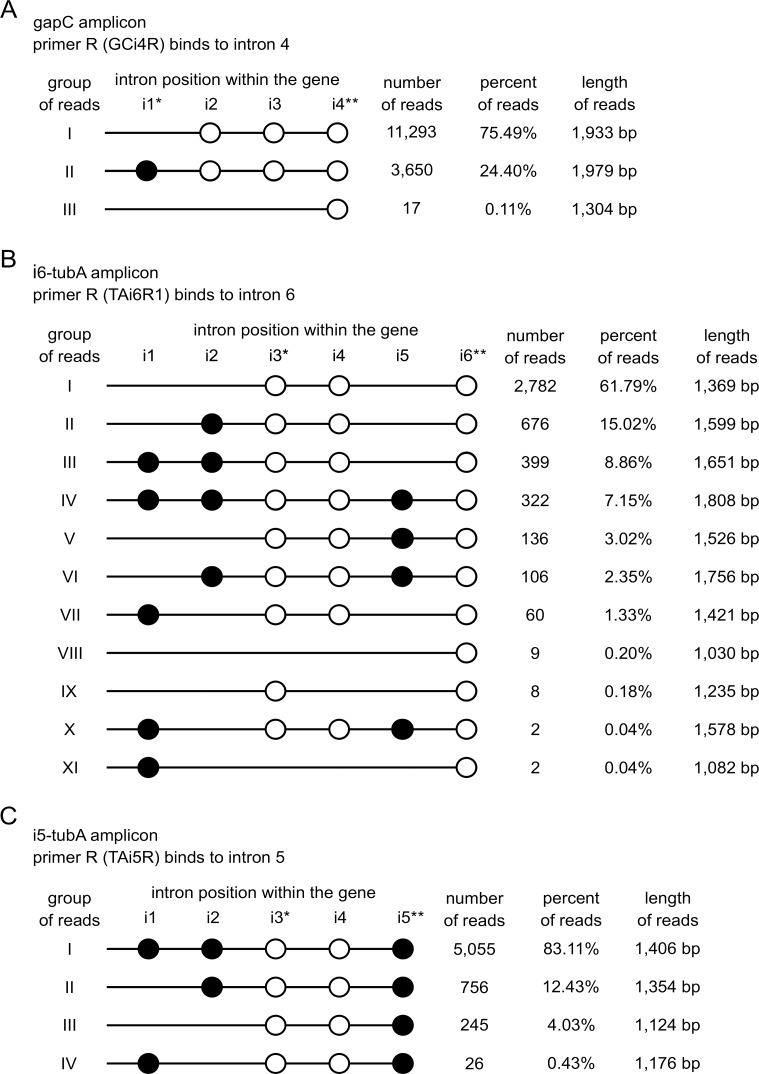Categories of sequencing reads inferred from the PacBio NGS sequencing. (A) Categories of sequencing reads deriving from the gapC amplicon, (B) i6-tubA amplicon and (C) i5-tubA amplicon, respectively. Number and percentage of particular types of reads are given. The distribution of introns in all groups of reads is depicted. Lines represent the exons while circles represent the introns: black circles: conventional introns; white: nonconventional ones (not to scale). Introns are labelled i1 –i6. In addition, introns that exhibit intermediate features are marked with an asterisk. Double asterisk indicates the introns to which the reverse primer was targeted, thus not considered in the analysis of amplicons (introns to which primers annealed were inevitably present in the amplification products).