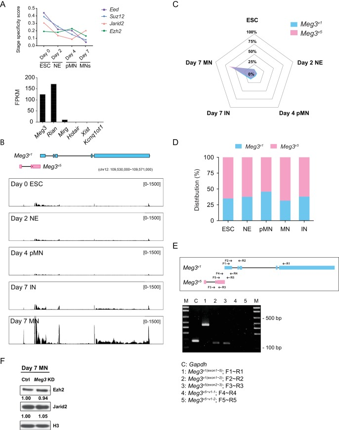 Characterization of Meg3 isoforms ( A ) Upper panel: Time-series expression of the PRC2 subunits ( Eed , Suz12 , Jarid2 , and Ezh2 ) during ESC~MN differentiation. The levels of PRC2 complex progressively decreased during differentiation, whereas Jarid2 is reactivated in day 7 postmitotic MNs. Lower panel: The abundances of the known lncRNAs that interact with PRC2 in MNs, as revealed by RNA-seq. ( B ) RNA-seq analysis of ESC~MNs. Reads from ESCs, RA-induced nascent neural epithelium (NE at day 2), MN progenitors (pMN at day 4), postmitotic interneurons (IN at day 7), and postmitotic MNs (MN at day 7). Reads are normalized to the total number of mappable reads per sample. RNA-seq revealed that Meg3 v1 (blue boxes) and Meg3 v5 (pink boxes) are the most abundant Meg3 isoforms in postmitotic MNs (GENCODE version M9). ( C ) Radar chart reveals that day 7 postmitotic MNs have the highest distribution of Meg3 v5 during ESC~MN differentiation. ( D ) Histogram plot indicates that the Meg3 v1 and Meg3 v5 isoforms account for more than 99% of Meg3 transcripts during ESC~MN differentiation. ( E ) Schematic diagram of RT-PCR primer locations within the Meg3 v1 and Meg3 v5 regions. Expression of Meg3 according to different primer combinations for Meg3 isoforms suggests that Meg3 v1 and Meg3 v5 are independent transcripts. Gapdh as a loading control. ( F ) Western blot shows that the loss of Meg3 imprinted lncRNAs does not affect the protein abundance of Ezh2 and Jarid2 in ESC~MNs.