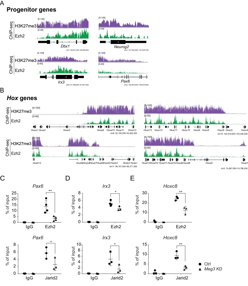 Ezh2 binding and the H3K27me3 landscape in ESC~MNs ( A and B ) Concordant enrichments of Ezh2 and H3K27me3 in progenitor genes ( A ) and caudal Hox genes ( B ).(C~E) ChIP-qPCR verifies compromised H3K27me3 occupancy of Ezh2 and Jarid2 for the Pax6 , Irx3 , and Hoxc8 loci upon Meg3 KD. 1% input was used to normalize the retrieval efficiency (error bars represent SD, n = 3 independent experiments; * p-value