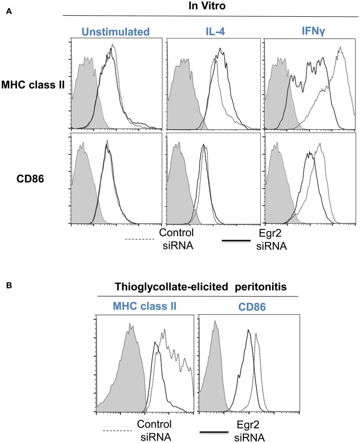 Analysis of expression of activation surface markers MHC class II and CD86 on macrophages with knockdown of Egr2 under inflammatory conditions in vitro and in vivo . Bone-marrow-derived macrophages (BMDMs) from B6 (A) or DsRed transgenic (B) mice were transfected with Egr2 siRNA or Control siRNA for 24 h, and after which the cells were used as unstimulated or activated in vitro with IL-4 or IFNγ for another 24 h-time period (A) or in vivo for 4 days in the model of thioglycollate-induced inflammation as described in Materials and Methods . (A) After in vitro incubation in media, IL-4 or IFNγ, the cells were washed, stained for surface markers F4/80, MHC class II and CD86 and F4/80 + gated macrophages were analyzed for the expression of MHC class II and CD86 by three-color follow cytometry as described in Materials and Methods . The expressions for MHC class II (top histograms) and CD86 (bottom histograms) of untreated (left histograms) or activated with IL-4 (middle histograms) or IFNγ (right histograms) macrophages transfected with Egr2 siRNA (solid line) vs. control siRNA (dotted line) are shown on representative histogram graphs. Staining with isotype-matched control mAbs is shown by shaded histograms. (B) The transfected DsRed-positive macrophages were injected i.p. into a group of 4-5 mice and peritoneal inflammation was induced by injection of thioglycollate medium as described in Materials and Methods . On day 4 after induction of inflammation, the cells were isolated by peritoneal lavage and cells were washed, stained for surface markers F4/80, MHC class II and CD86. F4/80 + DsRed + gated macrophages were analyzed for the expression of MHC class II and CD86 by four-color follow cytometry as described in Materials and Methods . The expressions for MHC class II (left histograms) and CD86 (right histograms) on F4/80 + DsRed + macrophages transfected with Egr2 siRNA (solid line) vs. control siRNA (dotted line) are shown on representative histogram graphs. Staini