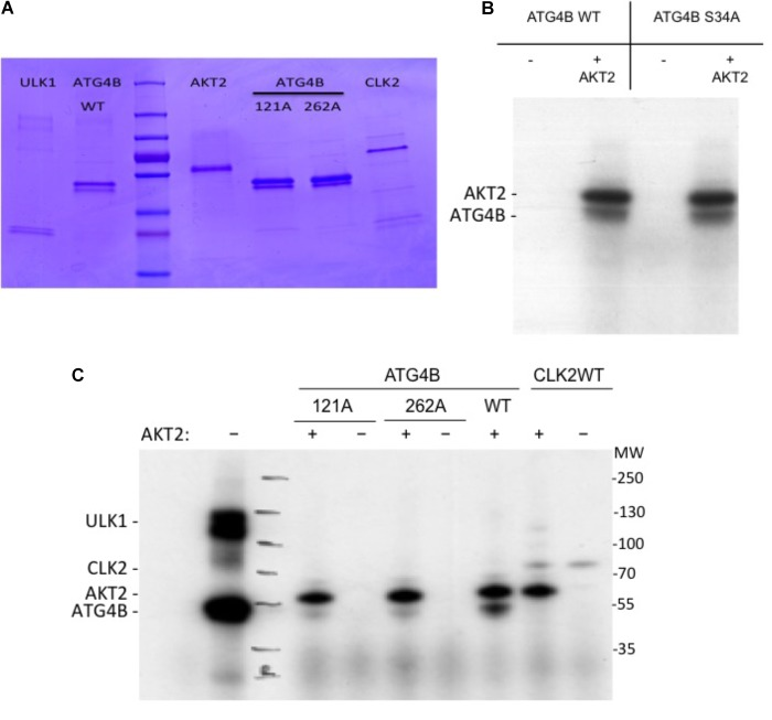 <t>In</t> <t>vitro</t> kinase assay. (A) Coomassie gel showing the purified proteins used in the in vitro kinase activity <t>assays.</t> (B) Recombinant ATG4B or ATG4B S34A was incubated with recombinant AKT2 and ATP γ- 32 P and incorporation of labeled γ- 32 P was measured by auto-radiography. The upper band corresponds to AKT2 <t>auto-phosphorylation</t> and the lower band corresponds to ATG4B. (C) Recombinant ATG4B wild-type (WT), S121A or S262A were incubated with (+) or without (–) recombinant AKT2 and incorporation of labeled γ- 32 P was measured by auto-radiography. On the left side, ULK1 mediated phosphorylation of ATG4B was included as control. On the right side, CLK2 (CLK2 catalytic domain with GST-tagged ( Prak et al., 2016 )) was included as another protein control to show that in the absence of ATG4B, AKT2 resulted in auto-phosphorylation.
