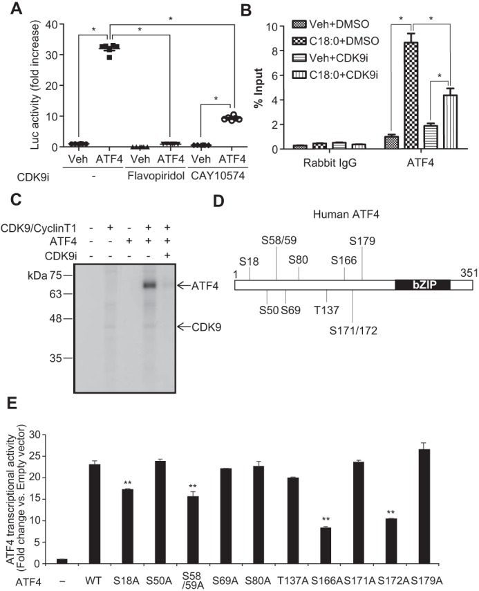 CDK9–cyclin T1 complex regulates the recruitment of ATF4 to the CHOP promoter under ER stress. A, HEK293T cells were co-transfected with firefly luciferase reporter plasmid containing three repeats of the C/EBP–ATF composite (−303/−292) of the mouse CHOP gene, <t>pCMV-LacZ,</t> and control or human ATF4 expression plasmid. 4 h after transfection; cells were incubated in DMEM containing 10% fetal bovine serum with DMSO ( Veh ) or CDK9 inhibitors ( CDK9i ) such as 300 n m flavopiridol or 30 μ m CAY10574 for 24 h. The results are expressed as luciferase ( Luc )/β-gal units of induction ( n -fold) over the control value for each construct. One-way ANOVA with a Student-Newman post hoc test was used for comparison between vehicle, flavopiridol, and CAY10574-treated cells ( n = 6). B, ChIP analysis of SFA-induced ATF4 recruitment to the C/EBP-ATF composite of the CHOP promoter. VSMCs were pretreated with 10 μ m flavopiridol (CDK9i) for 2 h, and then treated with BSA ( Veh ) or 250 μ m C18:0 with or without 10 μ m CDK9i. After 6 h, chromatin fractions of VSMCs were prepared. ChIP was performed with rabbit control IgG or ATF4 antibodies. Purified immunoprecipitated DNA was analyzed by qRT-PCR with primers for the C/EBP–ATF composite of the CHOP promoter. The results are expressed as the percentage of antibody binding versus the amount of PCR product obtained using a standardized aliquot of input chromatin (% input) ( n = 3). One-way ANOVA with a Student-Newman post hoc test was used for statistical analysis. *, p