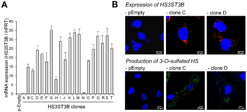 Stable expression of HS3ST3B in MDA-MB-231 cells. Cells were transfected with the expression vector encoding HS3ST3B and then cultured in complete DMEM medium in the presence of 400 µg/mL G418. After 14 days of culture, individual colonies were isolated by limit dilution and amplified in medium supplemented with G418. In parallel, cells were transfected with the empty vector to obtain the control parental cells (pEmpty). ( A ) Following <t>RNA</t> extraction, the mRNA level of HS3ST3B was quantified by real-time <t>RT-PCR</t> in each clone. Relative abundance of the transcripts was normalized to endogenous HPRT mRNA. Data are means ± SD of triplicates. ( B ) HS3ST3B expression in the clones C and D was analyzed by confocal microscopy. To this end, cells were seeded on glass coverslips, permeabilized and then incubated in the presence of anti-HS3ST3B antibodies. After wash, they were immunostained with secondary antibodies conjugated to Alexa-568, in order to highlight the enzyme in red fluorescence. For the detection of 3- O -sulfated motifs, recombinant HSV-1 gD (10 μg/mL) was incubated with primary anti-gD antibody for 30 min at 4 °C, and the immune complex was added to cells for an additional 30 min-incubation. After washing, cells were fixed and incubated for 1 h with Alexa 488-conjugated secondary antibody (green fluorescence). In all the microscopy experiments, nuclei were stained in blue with DAPI, in order to visualize cell nuclei ( N = 3 separate experiments; n = 30 cells). Scale bar = 10 µm.