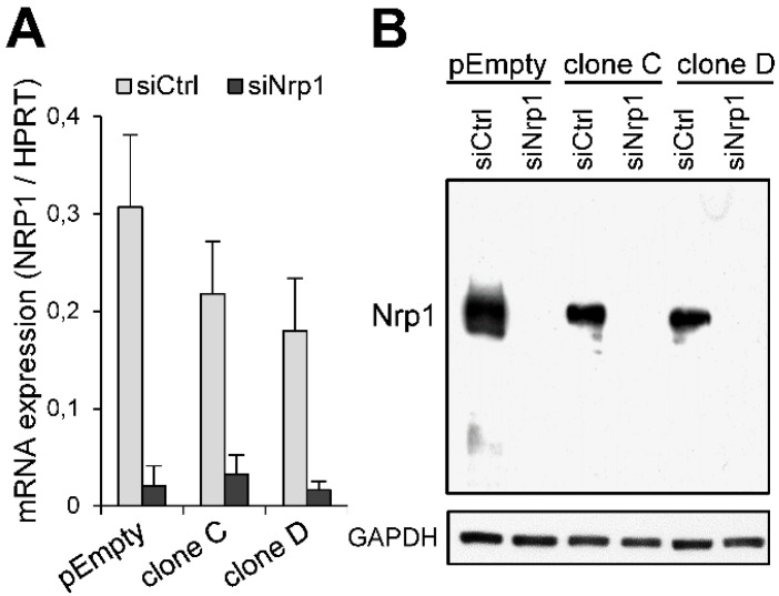 Knockdown of the expression of Nrp1 in MDA-MB-231 cells by RNA interference. Cells were transfected with the negative control siRNA (siCtrl) or specific siRNA targeting Nrp1 (siNrp1). ( A ) After 24 h of treatment, the levels of mRNA encoding Nrp1 were determined by real-time RT-PCR. Relative abundance of the transcripts was normalized to endogenous HPRT mRNA. Data are means ± SD of triplicates. ( B ) The efficacy of specific siRNA to knockdown the expression of Nrp1 was verified by Western blot 48 h post-transfection. Parallel immunoblotting with anti-GAPDH confirmed equal loading of the samples. Data are representative of three independent experiments.