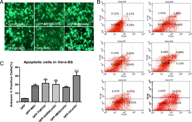 TGEV, IBV, CoCoV, SARS and MERS CoV Spike Protein S1 Could also Induce Apoptosis in Vero-E6 cells. TGEV, IBV, CCoV, SARS and MERS S1 genes were cloned or synthesized in fusion with EGFP gene and were transfected into VERO-E6, 48 h later, the cells were harvested and analyzed by Fluorescence-activated cells sorter (FACS), GFP-positive cells were gated for apoptosis analysis. ( a ) TGEV, IBV, CCoV, SARS and MERS S1 genes were correctly constructed in fusion with EGFP. The empty vector pEGFP-N1 and the recombinant plasmids were all transfected into confluent BHK-21 monolayer cells separately. 24 h later, bright green fluorescence was observed from the all the recombinant plasmids transfected cells. ( b ) The results showed that TGEV, IBV, CCoV, SARS and MERS S1 Protein Could Induce Apoptosis in Vero-E6 cells. ( c )Percentages of annexin-V-PE positive cells from gated cells are shown with graphs. Results are representative of three independent experiments. (*, p