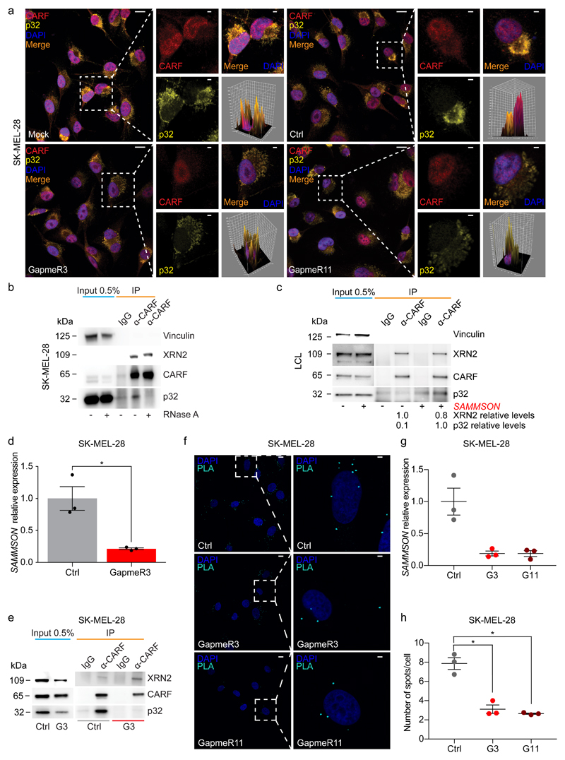 SAMMSON promotes CARF localization to the cytoplasm and its binding to p32. ( a ) Representative CARF (red) and p32 (yellow) IF in SK-MEL-28 cells 30 hours after transfection with a non-targeting GapmeR(Ctrl), GapmeR3 or GapmeR11 or untransfected (Mock). Cell nuclei are stained with DAPI (blue). Scale bar low magnification, 10 µm; high magnification, 2 µm. Representative images of three independent experiments. ( b ) CARF IP in SK-MEL-28 cells in the presence (+) or absence (-) of RNase A and western blotting. Representative image of three independent experiments. ( c ) CARF IP in LCL cells described in Figure 1a and western blotting, where (-) represents cells infected with an empty control plasmid and (+) the SAMMSON -expressing cells. Representative image of three independent experiments. ( d ) SAMMSON relative expression measured by RT-qPCR in SK-MEL-28 cells 30 hours after transfection with a non-targeting GapmeR (Ctrl) or GapmeR3 (G3). Error bars represent mean ± s.e.m.; n=3. ( e ) CARF IP in SK-MEL-28 cells treated as described in d and western blotting. Representative images of three independent experiments. (f) Representative Proximity Ligation Assay (PLA, cyan) assay using antibodies against CARF and p32 in SKMEL-28 cells 30 hours after transfection with a non-targeting (Ctrl), GapmeR3 or GapmeR11. Cell nuclei are stained with DAPI (blue). Scale bar low magnification, 10 µm; high magnification, 2 µm. Representative images of three independent experiments. ( g ) SAMMSON relative expression measured by RT-qPCR in SK-MEL-28 cells 30 hours after transfection with a non-targeting GapmeR(Ctrl), GapmeR3 (G3) or GapmeR11 (G11). Error bars represent mean ± s.e.m.; n=3. ( h ) Quantification of PLA assay described in f and g . Error bars represent mean ± s.e.m.; n=3. P values were calculated by paired two-tailed Student's t-test. * P