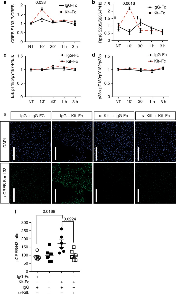 mKitL signaling induces CREB and Rps6 phosphorylation. a ELISA quantification of CREB S133 phosphorylation in NIH3T3 treated with 200 ng/ml IgG-Fc ( N = 3, two experiments) or Kit-Fc ( N = 3, two experiments) at the indicated time points. Bars show mean ± s.e.m. P- value is shown (Student's t -test). b ELISA quantification of Rps6 S235/S236 phosphorylation in NIH3T3 treated with IgG-Fc ( N = 3, two experiments) or Kit-Fc ( N = 3, two experiments) at the indicated time points. Values represent the mean of the ratio between Rps6 S235/S236 and Histone H3 at the indicated time points, quantified by ImageJ analysis of Western blots. Bars show mean ± s.e.m. P -value is shown (Student's t -test). c ELISA quantification of Erk1 T202/Y204 + Erk2 T185/Y187 phosphorylation in NIH3T3 treated with IgG-Fc ( N = 3, two experiments) or Kit-Fc ( N = 3, two experiments) at the indicated time points, quantified by ImageJ analysis of western blots. Bars show mean ± s.e.m. No statistically significant differences were observed. d ELISA quantification of p38α T180/Y182 phosphorylation in NIH3T3 treated with IgG-Fc ( N = 3, two experiments) or Kit-Fc ( N = 3, two experiments) at the indicated time points, quantified by ImageJ analysis of western blots. Bars show mean ± s.e.m. No statistically significant differences were observed. e Immunofluorescence analysis of NIH3T3 cells treated as in i showing CREB phospho-S133 (green) and DNA (blue, visualized with DAPI). Scale bars: 75 μm. Data are representative of three experiments. f Quantification of CREB S133 phosphorylation in NIH3T3 cells pre-treated with goat-IgG (g-IgG) or goat anti-KitL antibody (α-KitL) for 1 h, and treated IgG-Fc ( N = 4, two experiments) or Kit-Fc ( N = 6, two experiments) for 10 min. Values represent the mean of the ratio between of CREB phospho-S133 and Histone H3, quantified by ImageJ analysis of western blots. Bars show mean ± s.e.m. P -value is shown (Student's t -test)
