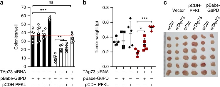 PFKL and G6PD mediate the tumorigenic effect of TAp73. a HCT116 cells stably expressing vector control, PFKL, G6PD, or both PFKL and G6PD were treated with control or TAp73 siRNA for 24 h, and 1000 cells for each condition were plated in soft agar for colony formation. Numbers of colonies with a diameter greater than 10 μm were quantified 10 d later (means ± S.D., n = 6). b , c HCT116 cells stably expressing vector, PFKL, or G6PD were treated with a control or TAp73 siRNA. Cells were xenografted into immunodeficient mice. Average weights ( b , means ± S.D. indicated) and images ( c ) of xenograft tumors at 3 weeks are shown