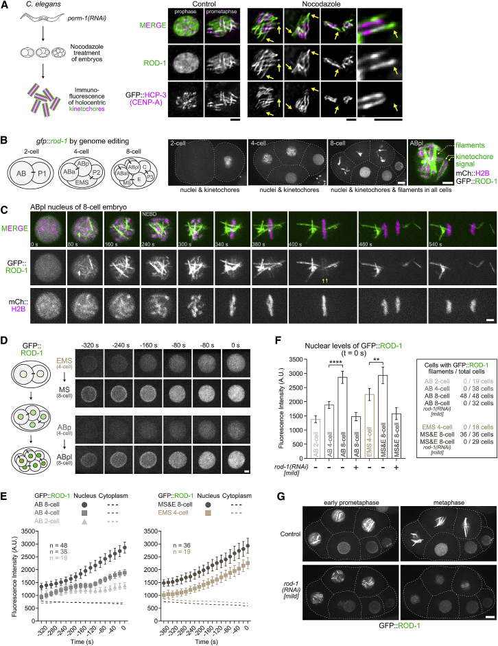 C. elegans ROD-1 Is Capable of Self-Assembly into Micrometer-Scale Filaments In Vivo (A) (Left) Schematic of experimental protocol to visualize kinetochore expansion in C. elegans early embryos. RNAi-mediated depletion of PERM-1 permeabilizes the eggshell of embryos, which are subsequently isolated from hermaphrodite adults, treated with nocodazole, and immunostained for ROD-1 and the centromere marker GFP::HCP-3 CENP-A . (Right) Immunofluorescence images of mitotic embryonic cells with and without nocodazole treatment. Arrows point at filamentous kinetochore expansions containing ROD-1 that form in the absence of microtubules. Scale bars, 2 μm. (B) (Left) Schematic of the C. elegans early embryo at the two-, four-, and eight-cell stages. Names of individual cells are indicated. Bars connecting cells indicate they originated from the same mother cell. (Right) Selected images from a time-lapse sequence of an early embryo expressing endogenous ROD-1 tagged with GFP. GFP::ROD-1 is enriched in nuclei and localizes transiently to holocentric kinetochores in mitosis. In addition, GFP::ROD-1 starts to form filaments during mitosis at the eight-cell stage, but not earlier (see also Video S1 ). Dashed lines mark cell boundaries. Scale bars, 5 μm; blow-up, 2 μm. (C) Selected images from a time-lapse sequence documenting the formation of GFP::ROD-1 filaments during mitosis at the eight-cell stage (see also Video S2 ). mCherry::histone H2B labels chromosomes. Filaments, typically several micrometers in length, form in the nucleus before NEBD and segregate to daughter cells by clustering at spindle poles. Kinetochore-localized GFP::ROD-1 is also visible (arrows). Time point 0 refers to the last frame before the appearance of GFP::ROD-1 on filaments and kinetochores. Scale bar, 2 μm. (D) (Left) Schematic highlighting the increase in nuclear GFP::ROD-1 levels during early embryonic development. (Right) Selected images of nuclei from a time-lapse sequence of a developing embryo expressing GFP::ROD-1 that was followed from the two-cell stage to the eight-cell stage. (Top) Images show the EMS cell in the four-cell embryo, which gives rise to the MS cell in the eight-cell embryo. (Bottom) Likewise, the ABp cell gives rise to the ABpl cell. In both instances, nuclear GFP::ROD-1 levels increase gradually during the cell cycle and are significantly higher in daughter cells. Time point 0 denotes the last frame before GFP::ROD-1 appears on kinetochores (EMS and ABp) or filaments (MS and ABpl). Similar results were obtained for nuclei of the P lineage (not shown). Scale bar, 2 μm. (E) Quantification of average GFP::ROD-1 signal in nuclei and the cytoplasm in developing embryos as shown in (D). Average fluorescence intensity was determined in images acquired every 20 s, averaged for the indicated number n of cells from at least 8 embryos, and plotted against time. Time point 0 denotes the last frame before the appearance of GFP::ROD-1 on filaments and/or kinetochores. Values are shown as mean ± 95% confidence interval for nuclear signal and as the mean for cytoplasmic signal. (F) (Left) Quantification of nuclear GFP::ROD-1 levels in cells at different developmental stages. Measurements correspond to the last frame before GFP::ROD-1 appears on filaments and/or kinetochores (time point 0 s), showing a significant increase of nuclear signal at the eight-cell stage. Mild rod-1(RNAi) was used to reduce GFP::ROD-1 levels. Values are shown as mean ± 95% confidence interval. Statistical significance was determined by one-way ANOVA followed by Bonferroni's multiple comparison test. ∗∗∗∗ p