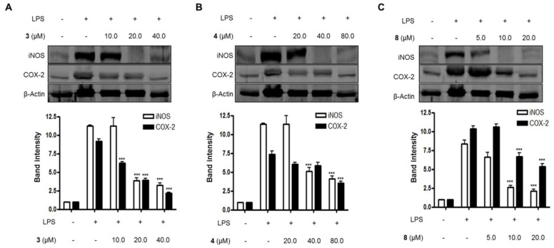 The effects of compounds ( A ) 3 , ( B ) 4 , and ( C ) 8 on the expression of iNOS and COX-2 proteins in lipopolysaccharide (LPS)-stimulated BV2 microglial cells. (A–C) The cells were pretreated for 3 h with the indicated concentrations of compounds 3 , 4 , and 8, and then stimulated for 24 h with LPS (1.0 μg/mL). The data are presented as the means ± SD of three experiments. The band intensity was quantified by densitometry and normalized to the intensity of the β-actin band; lower panel, summarized bar graphs show band intensity presented as ratio of targeting protein over β-actin. The significance of the comparison against the LPS-treated group is indicated as follows: *** p