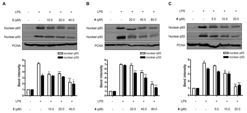 The effects of compounds ( A ) 3 , ( B ) 4 , and ( C ) 8 on LPS-induced NF-κB (p65/p50) expression in nuclear in BV2 microglial cells. (A–C) The cells were pretreated for 3 h with the indicated concentrations of compounds 3 , 4 , and 8, and then stimulated for 1 h with LPS (1.0 μg/mL). The data are presented as the means ± SD of three experiments. The band intensity was quantified by densitometry and normalized to the intensity of the proliferating cell nuclear antigen (PCNA) band; lower panel, summarized bar graphs show band intensity presented as ratio of targeting protein over PCNA. The significance of the comparison against the LPS-treated group is indicated as follows: * p