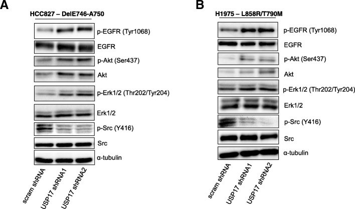 ( a ) HCC827 cells were transfected as indicated. 72 h post transfection the cells were starved in serum free medium for 3 h. Whole cell lysates were harvested and levels of phosphorylated Erk1/2, Akt, Src and EGFR were assessed by immuno-blotting using anti-pERK1/2, anti-pAkt, anti-pSrc and, anti-pEGFR (Tyr1068). Total protein levels of Erk, Akt, Src and EGFR were also assessed in addition to α-tubulin, utilising Erk1/2, Akt, Src, EGFR and anti-tubulin antibodies. ( b ) H1975 cells were transfected as indicated. 72 h post transfection the cells were starved in serum free medium for 3 h. Whole cell lysates were harvested and levels of phosphorylated Erk1/2, Akt, Src and EGFR were assessed as before. Total protein levels of Erk, Akt, Src and EGFR were also assessed in addition to α-tubulin, as before