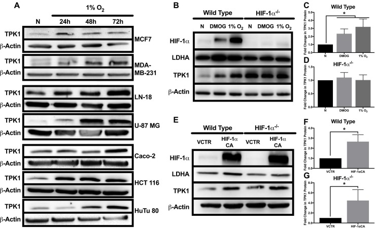 Effect of hypoxic stress and HIF-1α on TPK1 expression ( A ) Representative Western blots demonstrating TPK1 protein expression in WCLs isolated from seven tumor cell lines with tissue origins including breast (MCF7, MDA-MB-231), brain (LN-18, U-87 MG), and intestine (Caco-2, HCT 116, HuTu 80) following treatment with 1% O 2 for 24, 48, and 72 h relative to normoxic control (N). β-Actin expression serves as the loading control. ( B ) Representative Western blots demonstrating HIF-1α, LDHA, and TPK1 protein expression in WCLs isolated from wild type and HIF-1α –/– HCT 116 cells seeded at 1250 cells/cm 2 and treated with 150 μM DMOG or 1% O 2 for 24 h relative to normoxic control (N). ( C , D ) Densitometry analysis of the fold change in TPK1 expression ± standard deviation (SD) following DMOG and 1% O 2 treatment in wildtype and HIF-1α –/– HCT 116 cells compared to normoxic control (N) including n = 4 independent experiments for wild type and n = 3 independent experiments in HIF-1α –/– cells. ( E ) Representative Western blots demonstrating HIF-1α, LDHA, and TPK1 protein expression in WCLs isolated from wild type and HIF-1α –/– HCT 116 cells seeded at 2500 cells/cm 2 and transfected with 2.5 μg of HIF-1α CA plasmid DNA relative to vector control (VCTR) for 72 h. ( F , G ) Densitometry analysis of the fold change in TPK1 expression ± SD following HIF-1α CA overexpression in wildtype and HIF-1α –/– HCT 116 cells compared to vector control including n = 3 independent experiments. (*) Represents statistically significant difference ( p