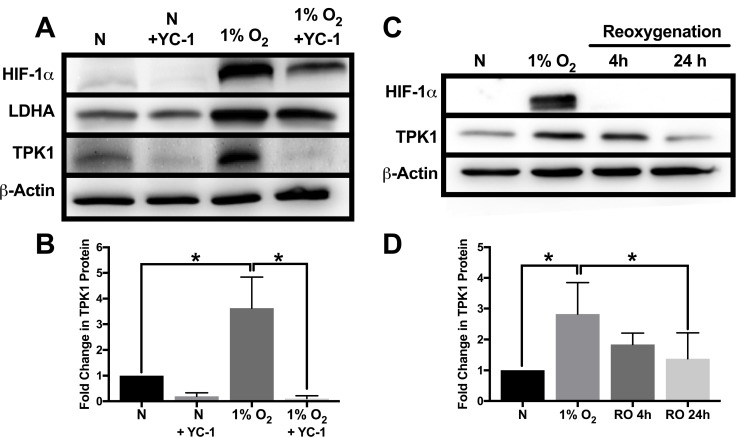 Attenuation of TPK1 expression using pharmacological inhibition of HIF-1α and reoxygenation ( A ) Representative Western blots demonstrating HIF-1α, LDHA, and TPK1 protein expression under normoxic (N) and hypoxic conditions ± YC-1 in WCLs isolated from wild type HCT 116 cells seeded at 2500 cells/cm 2 and pre-treated with 5 μM YC-1 for 24 h prior to 48 h hypoxic exposure in the presence of 5 μM YC-1. β-Actin expression serves as the loading control. ( B ) Densitometry analysis of the fold change in TPK1 expression ± SD following exposure to 1% O 2 in the presence or absence of YC-1 for wildtype HCT 116 cells compared to untreated normoxic control (N) including n = 3 independent experiments. ( C ) Representative Western blots demonstrating HIF-1α and TPK1 in WCLs isolated from wild type HCT 116 cells seeded at 1250 cells/cm 2 and treated in 1% O 2 for 48 h with subsequent reoxygenation at 21% O 2 for 4 and 24 h. ( D ) Densitometry analysis of the fold change in TPK1 expression ± SD following exposure to 1% O 2 and subsequent reoxygenation in wildtype HCT 116 cells compared to untreated normoxic control (N) including n = 4 independent experiments. (*) Represents statistically significant difference ( p