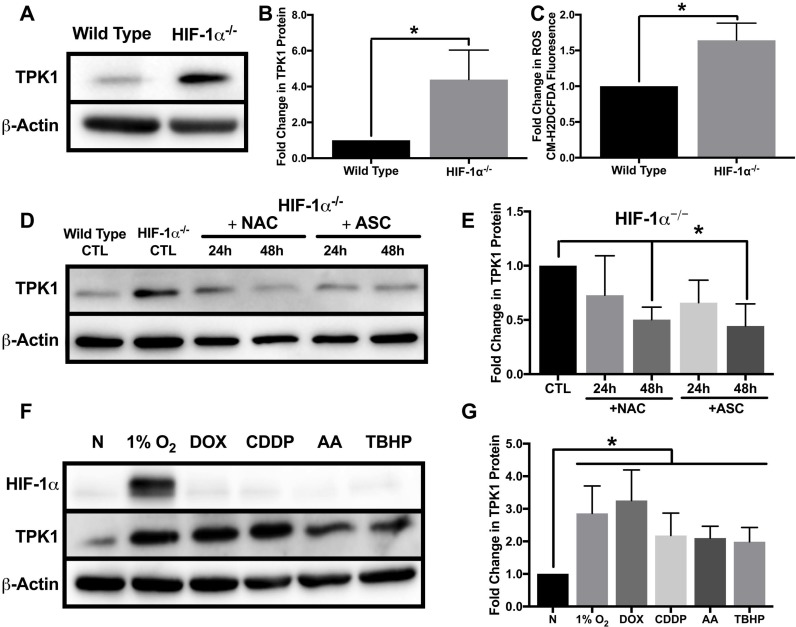 Oxidative stress mediated regulation of TPK1 ( A ) Representative Western blot demonstrating TPK1 expression in WCLs isolated from isogenic wild type and HIF-1α –/– HCT 116 cells. β-Actin expression serves as the loading control. ( B ) Densitometry analysis of the fold change in TPK1 expression ± SD for HIF-1α –/– HCT 116 compared to wild type HCT 116 cells including n = 5 independent experiments. ( C ) Fold change in CM-H2DCFDA median fluorescence intensity ± SD demonstrating fold change in ROS levels between HIF-1α –/– relative to wild type HCT 116 cells including n = 4 independent experiments. ( D ) Representative Western blot demonstrating TPK1 expression in WCLs isolated from HIF-1α –/– HCT 116 cells seeded at 1250 cells/cm 2 and treated with 1 mM NAC or 100 μM ASC for 24 and 48 h relative to untreated HIF-1α –/– HCT 116 CTL (expression of TPK1 in wild type cells provided for comparison). ( E ) Densitometry analysis of the fold change in TPK1 expression ± SD for HIF-1α –/– HCT 116 cells treated with NAC and ASC compared to untreated HIF-1α –/– HCT 116 control including n = 4 independent experiments. ( F ) Representative Western blots demonstrating HIF-1α and TPK1 protein expression in WCLs isolated from wild type HCT 116 cells seeded at 1250 cells/cm 2 and treated with 1% O 2 , 0.1 μM DOX, 10 μM CDDP, 5 μM AA or 10 μM TBHP for 24 h relative to normoxic control (N). ( G ) Densitometry analysis of the fold change in TPK1 expression ± SD for wild type HCT 116 cells treated with 1% O 2 , DOX, CDDP, AA or TBHP compared to untreated normoxic control (N) including n = 6 independent experiments. (*) Represents statistically significant difference ( p