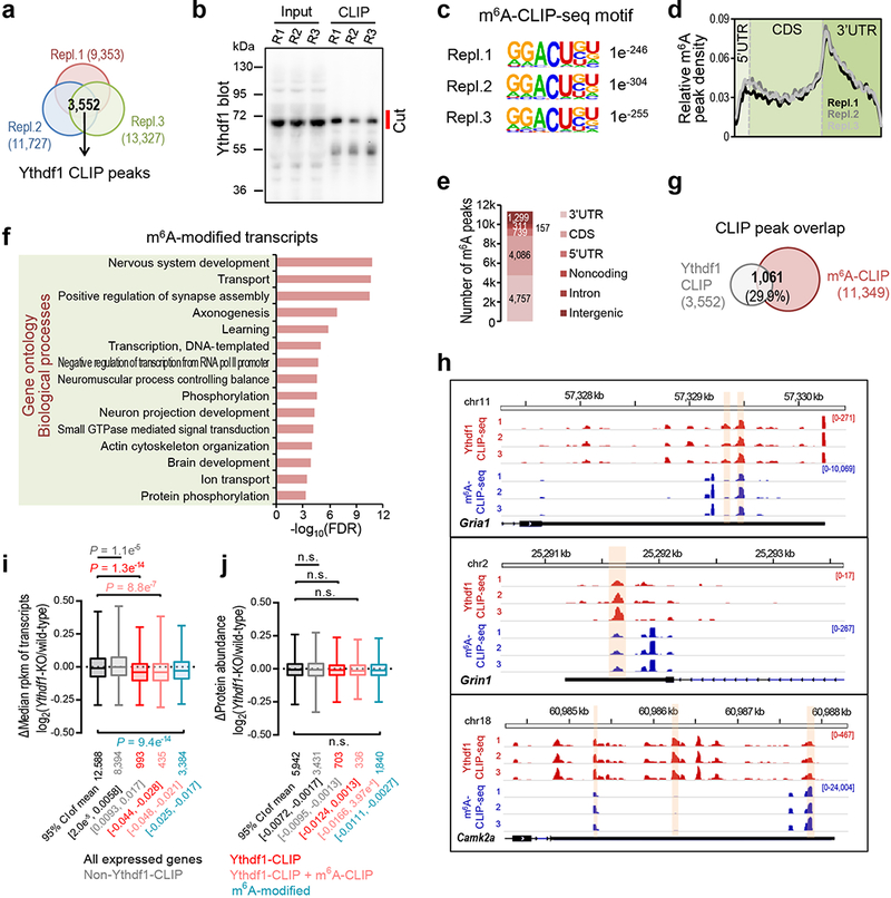 Ythdf1 binding sites and m 6 A sites in the hippocampus of adult mice, and Ythdf1-mediated effects of m 6 A on hippocampal transcriptome and proteome. a , Peak overlap among three biological replicates of Ythdf1-CLIP-seq. b , Validation of immunoprecipitation efficiency for Ythdf1-CLIP-seq. The position of the gel slice cut during the step of protein-RNA complex size selection was indicated in red (see Methods). c , Consensus motif and its P value generated by HOMER 40 of the three sets of hippocampal m 6 A sites from biological replicates of m 6 A-CLIP-seq. d , e , Distribution of m 6 A-CLIP peaks along the different regions of transcripts ( d ) and genome ( e ). f , Functional annotation of m 6 A-modified transcripts in the adult mouse hippocampus (number of mutations in m 6 A-CLIP-seq > = 5, n = 2,922). g , Peak overlap between high-confidence Ythdf1-CLIP peaks and high-confidence m 6 A-CLIP peaks. The percentage of Ythdf1-CLIP peaks overlapped is indicated. h , IGV screenshots of the piled mutated reads for the each of the biological triplicates of Ythdf1-CLIP-seq (red) and m 6 A-CLIP-seq (blue). Three examples of synaptic plasticity transcripts were presented; the overlapped peak regions are highlighted in orange. i , j , Box-plots of mRNA abundance ( i ) and protein abundance ( j ) log 2 fold changes (Δ) between Ythdf1- KO hippocampus and wild-type control for all expressed genes (black), non-Ythdf1-CLIP transcripts (gray), Ythdf1-CLIP targets (red), transcripts with overlapped Ythdf1-CLIP peaks and m 6 A-CLIP peaks (pink), and m 6 A-modified transcripts (blue). Box-plot elements: center line, median; box limits, upper and lower quartiles, whiskers, 1–99%; P values, two-sided unpaired Kolmogorov-Smirnov test; number of genes and 95% CI of mean are indicated for each box ( i , j ).
