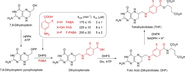 2-F-PABA is an alternative substrate for tetrahydrofolate (THF) biosynthesis. PABA and F-PABA are substrates for <t>dihydropteroate</t> synthase <t>(DHPS)</t> in the THF biosynthesis pathway (only the terminal portion of the pathway is shown). The incorporation of PABA and PABA analogs F-PABA and PAS into dihydropteroate was quantified using a coupled assay that omitted DHFS from the reaction mixture and instead involved the direct reduction of dihydropteroate by dihydrofolate reductase (DHFR).
