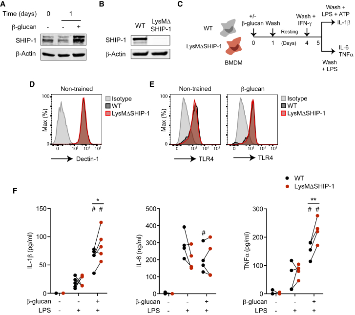 SHIP-1 Deletion Boosts β-Glucan-Induced Trained Immunity in Macrophages (A) SHIP-1 expression by WB, normalized to β-actin, in bone marrow-derived macrophages (BMDMs) exposed (+) or not (−) to β-glucan (whole glucan particles) for the indicated time. Representative experiment of three performed. (B) SHIP-1 protein expression in BMDMs. Representative experiment of six performed. (C) Trained immunity in vitro model in mouse BMDMs. See also Figure S1 A. (D and E) Dectin-1 expression in BMDMs before β-glucan stimulation (D) or TLR4 expression both under non-trained (left) or β-glucan-primed (right) conditions, just before LPS stimulation (E), according to Figure 1 C. FACS histograms representative of four independent experiments. See also Figures S1 B and S1C. (F) BMDMs were stimulated (+) or not (−) with β-glucan or LPS, and IL-1β (left), IL-6 (middle), and TNFα production (right) was analyzed in supernatants according to Figure 1 C. See also Figure S2 . Independent experiments (N = 4 or 5) are shown. ∗ p