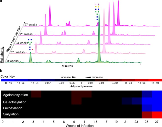 Longitudinal serum N-glycosylation profiles of D. immitis infection in dogs. ( a ) HILIC-UPLC profiles of enzymatically released and fluorescently labeled serum N-glycans from dog ID 116 (longitudinal set) from weeks 0, 21, 23, 25 and 27 post-infection with D. immitis . Rel. abund., relative abundance. The glycan structures of the two dominant peaks are annotated. ( b ) Heatmap of the changes in the abundance of serum N-glycan classes in D. immitis infection. Adjusted p-values were determined using linear mixed-effects models. Blue, increase; red, decrease. Glycan classes were identified and quantified by exoglycosidase digestion with α1-2,4,6 Fucosidase, β1-4 Galactosidase or α2-3,6,8 Neuraminidase. (Supplementary Fig. S3 ; Table S4 ).