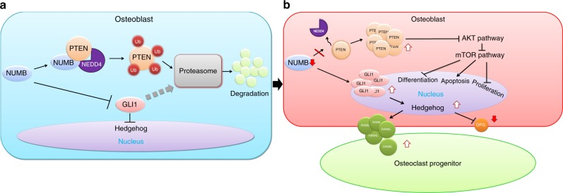 Numb and Numbl in osteoblasts maintain the physiological bone mass. a When expressed normally in osteoblasts, the NUMB-NEDD4-PTEN tri-complexes produce, leading to ubiquitin-mediated proteasomal degradation of PTEN. At the same time, GLI1 tends to be degraded in proteasomes. Akt and Hedgehog signals are moderate in osteoblasts. b When Numb is suppressed, PTEN and GLI1 accumulate in the cytoplasm where they inhibit Akt to suppress bone formation and activate Hedgehog to enhance bone resorption, respectively