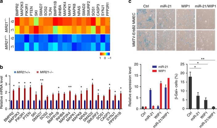 Overexpression of miR-21 and WIP1 promotes oncogenic transformation of HER2+ breast cancer cells. a The differential expression heat map of miR-21 target genes in the mammary epithelial cells (MMECs) derived from MIR21−/−;MMTV-ErbB2 mice (8 weeks old). b Relative expression levels of the predicted miR-21 targets in primary MMECs isolated from wild-type or MIR21-/- virgin females at the age of 8 weeks. Data represents the mean expression levels normalized to the endogenous snoRNA55 control from three independent experiments. c MMECs derived from MMTV-ErbB2 mice were transduced with lentivirus expressing miR-21 and/or WIP1. Top panel: representative photomicrographs of SA-β-galactosidase (SA-β-Gal) staining observed in bright field. Bottom panel: miR-21 and WIP1 expression levels as determined by q-PCR, and percentages of SA-β-Gal-positive cells were calculated. Scale bar, 10 µm. * p