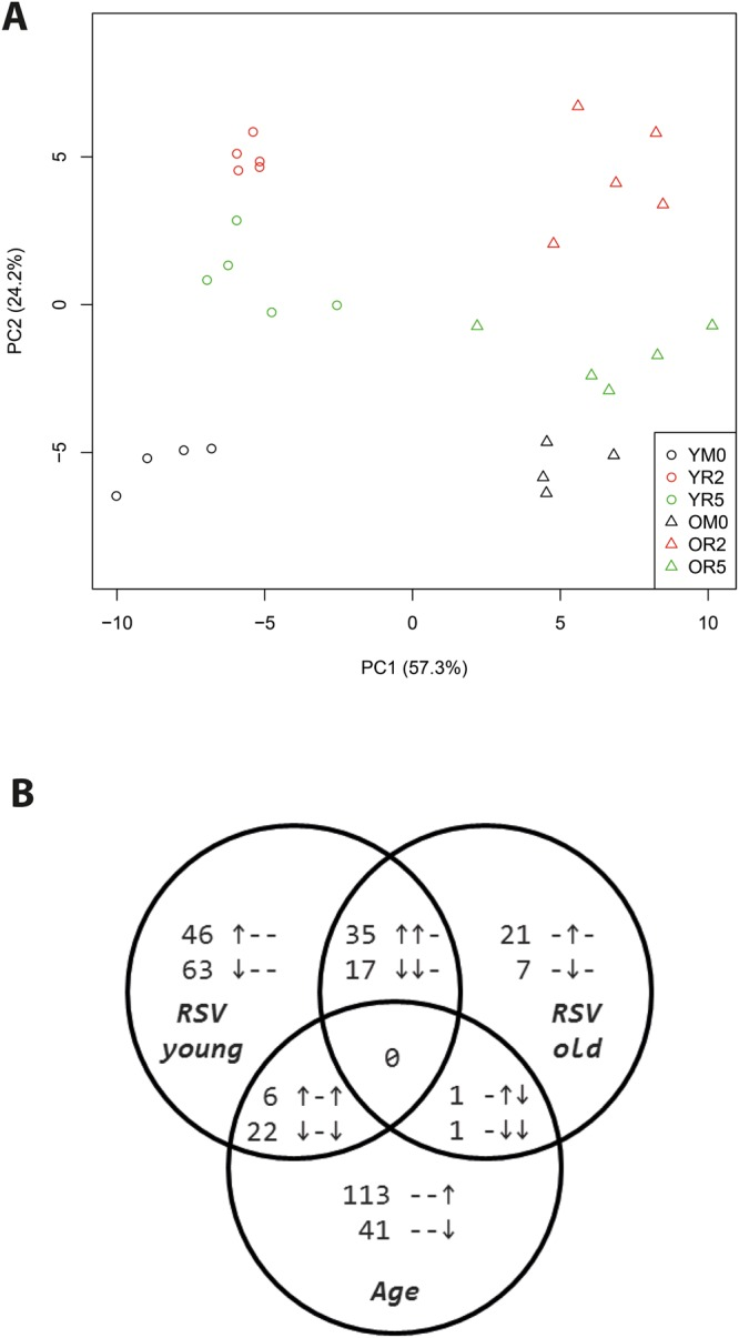 Distinct effects by aging and RSV on gene expression. Panel A shows each individual animal in a principal component analysis (PCA) of the microarray data of lung samples derived at day 0 (mock-inoculated, black, n = 4/group), or at day 2 (red, n = 5/group) or day 5 (green, n = 5/group) after inoculation with RSV. Aging-regulated expression appears by PC1, RSV-regulated gene expression appears along PC2. Y, young (circles); O, old (triangles); M, mock control; R, RSV-inoculated. Panel B shows a Venn-diagram depicting numbers of genes that are significantly upregulated (↑), downregulated (↓), or show no significant response (−). The three symbols indicate from left to right: response to RSV in young mice, response to RSV in old mice, response to aging, respectively.