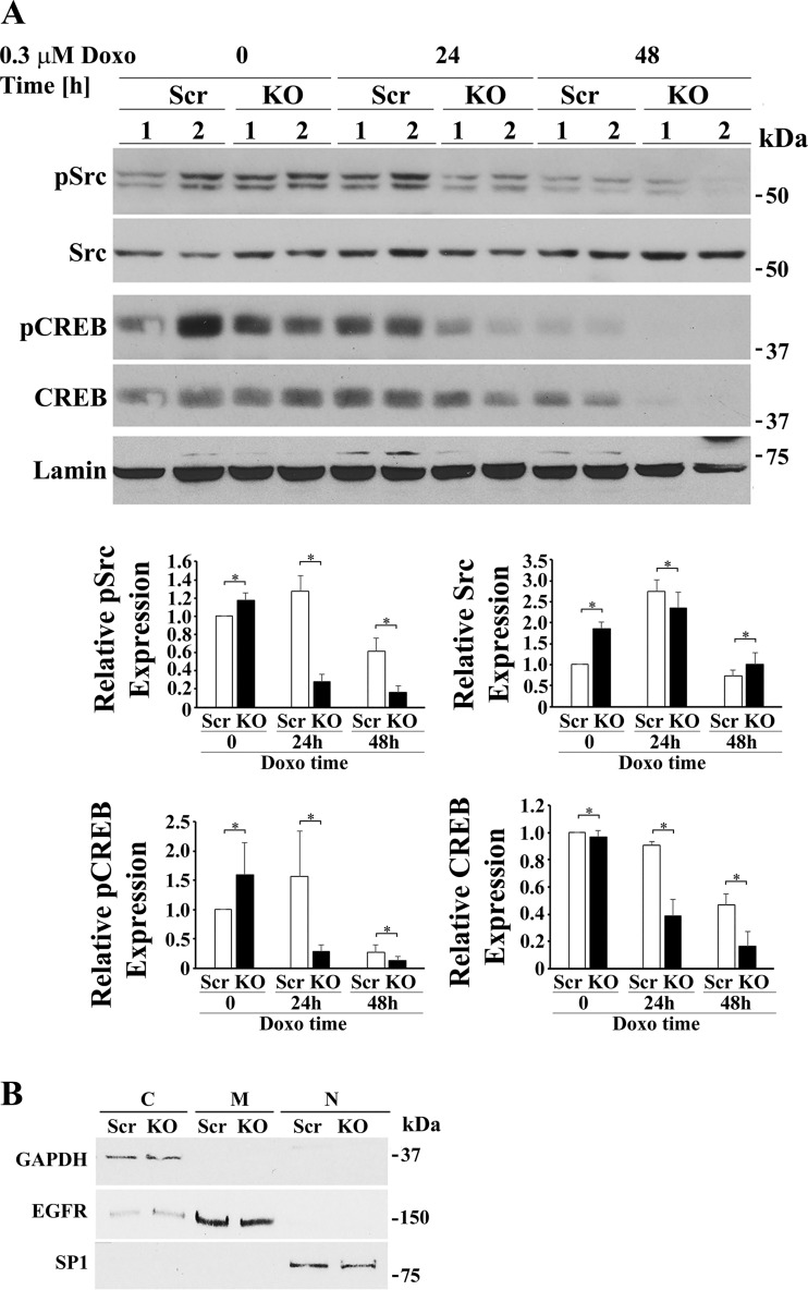 Depletion of TRPM2 followed by doxorubicin (Doxo) exposure reduces phosphorylated Src, phosphorylated CREB, and total CREB but increases total Src in the nucleus. A : TRPM2-depleted and scrambled SH-SY5Y control cells were treated for 24 or 48 h with Doxo and then fractionated into cytosolic and nuclear fractions. A representative Western blot from one of two experiments is shown. Densitometry measurements of nuclear protein for two experiments, each using two different clones from each group ( n = 4), were standardized to results for each experiment's scrambled nuclear control at time 0 . The means ± SE of phosphorylated or total Src or CREB calculated are shown. Western blotting of nuclear fractions revealed that pSrc (group × exposure time interaction effect, P = 0.0002), pCREB (group × exposure time interaction effect, P = 0.0457), and total CREB (group × exposure time interaction effect, P = 0.019) were significantly reduced in the nucleus of TRPM2-depleted cells after Doxo compared with scrambled controls cells. Nuclear Src was significantly increased (group × exposure time interaction effect, P = 0.05) in TRPM2 depleted cells after doxorubicin treatment compared with control scrambled cells. * P ≤ 0.05, group × Doxo exposure time interaction effect analyzed with two-way ANOVA. B : quality of fractionation was determined by probing cytosolic (C), membrane (M), and nuclear (N) fractions with antibody to GAPDH, EGFR, and SP1, respectively. CREB, cAMP-responsive element-binding protein; EGFR, epidermal growth factor receptor; KO, knockout; MCU, mitochondrial calcium uniporter; p, phosphorylated; SP1, specificity protein 1; TRPM2, transient receptor potential melastatin channel subfamily member 2.