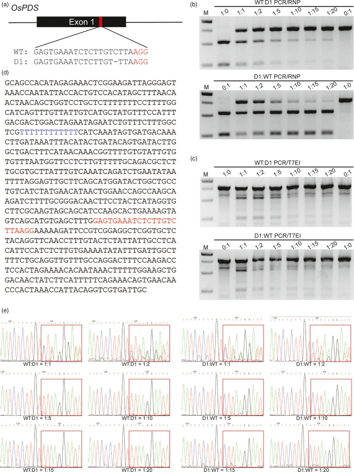 Comparison of the sensitivities of mutation detection by <t>PCR</t> / RNP , PCR /T7 EI and direct Sanger sequencing. (a) The sg‐Os PDS ‐1 target site is located in exon1 of Os PDS . The PAM sequence is highlighted in red. 'D1' indicates a 1 bp deletion at the target site. (b c) Mixtures of WT and D1 PCR amplicons in different ratios were treated by PCR / RNP and PCR /T7 EI . (d) <t>DNA</t> sequence of the PCR amplicons surrounding the sg‐Os PDS ‐1 target site. The sg RNA sequence and 12 consecutive T's in the amplicons are highlighted in red and blue, respectively. (e) Mixtures of different proportions of WT and D1 PCR amplicons sequenced by the Sanger method.