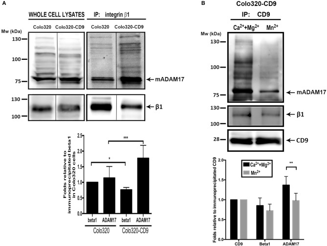 Cell surface ADAM-17 is more efficiently co-immunoprecipitated with integrin α5β1 from Colo320-CD9 cells than from Colo320 cells. (A) Only cell surface integrin α 5 β 1 molecules were selectively immunoprecipitated by incubating the cells with mAb Lia1/2 (anti-β 1 ) in the presence of Ca 2+ +Mg 2+ (500 μM each) and washing the excess non-bound antibody prior to cell lysis and immunoprecipitation. Immunoprecipitated integrin α 5 β 1 and co-immunoprecipitated ADAM17 were detected by immunoblotting with the <t>anti-β1</t> <t>(TS2/16)</t> and anti ADAM17 (A300D) mAbs, respectively. The gel shown is representative of five different experiments. The graph below shows the densitometric quantitation of the amount of precipitated integrin and co-immunoprecipitated ADAM17 (means ± SEM) from five different experiments, normalized to β 1 precipitated in Colo320 cells in each experiment. (B) Integrin α5β1 and ADAM17 are coimmunoprecipitated with CD9 from cell surface TEMs. CD9 was immunoprecipitated with mAb PAINS10 as described for integrin β1 in (A) but under two different extracellular cation conditions: in the presence of Ca 2+ +Mg 2+ (500 μM each) or Mn 2+ (200 μM). Immunoprecipitated CD9 and co-immunoprecipitated β 1 and ADAM17 were detected by immunoblotting with mAbs PAINS10 (anti-CD9), TS2/16 (anti-β1), and A300D (anti ADAM17), respectively. The gel shown is representative of four different experiments. The graph below represents the densitometric quantitation of the amount of precipitated CD9 and co-immunoprecipitated integrin β 1 and ADAM17 (means ± SEM) normalized to the immunoprecipitated CD9 in each of the four independent experiments. Statistical analysis was carried out using two-tailed paired T -test. * p