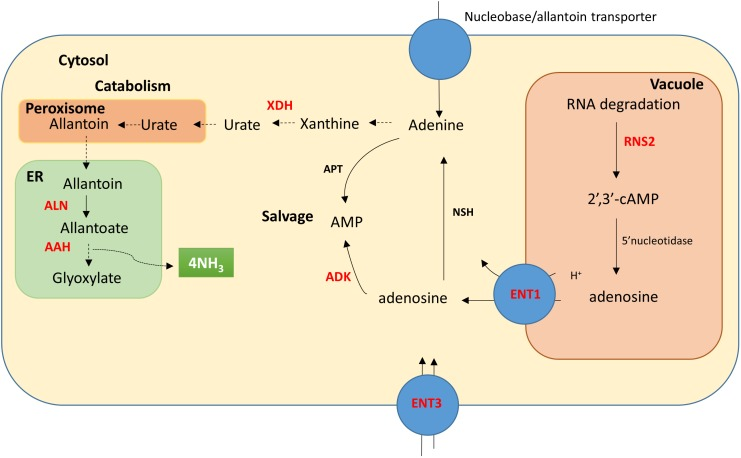 Diagram of the purine pathway characterized in Arabidopsis adapted from Bernard et al. (2011) . The diagram shows the cellular localization of RNA degradation, purine salvage and catabolism. Proteins (enzymes and transporters) that were examined here at the gene transcriptional level are shown in red; RNS2, ribonuclease type II; ENT1, equilibrative nucleoside transporter 1; ENT3, equlibrative nucleoside transporter 3; XDH, xanthine dehydrogenase; ADK, adenosine kinase; ALN, allantoinase and AAH, allantoate amidohydrolase. Additional enzymes shown include NSH, nucleoside hydrolase and APT, adenine phosphoribosyltransferase. Cellular localization of these proteins is not known in wheat.