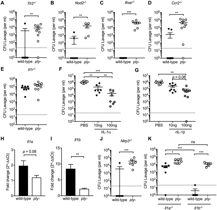 Lack of IL-1 signaling is essential for pneumococcal persistence. Pups aged 4 days were infected with serotype 23F wild-type or ply- . (A-D) Pneumococcal colonization density at 9 weeks post-infection in (A) Tlr2 -/- , (B) Nod2 -/- , (C) Ifnar -/- , and (D) Ccr2 -/- , and (E) Il1r -/- mice. (F-G) Starting 24 hours following challenge, pups infected with the serotype 4 ply- received daily i.n. treatment with 10 or 100 ng of recombinant (F) IL-1α or (G) IL-1β for 3 consecutive days. Control pups received PBS treatment and pneumococcal colonization density was determined at 4 days post-infection. (H-I) At 21 days post-challenge, the URT of infants was lavaged to assess expression of mucosal (H) Il1a and (I) Il1b by qRT-PCR and calculated as fold-change compared to mock-challenged age-controlled animals. (J-K) At 9 weeks after inoculation, pneumococcal colonization density was determined in (J) Nlrp3 -/- , (K) Il1a -/- and Il1b -/- mice. Groups represent n = 5–11 animals with mean ±SEM. Dotted line represents the lower limit of detection. Significance is indicated by *, P
