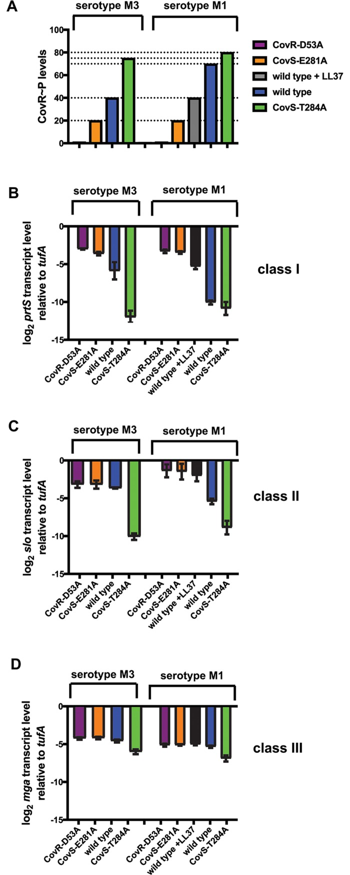 Influence of CovR~P on transcript levels of genes representing distinct classes. ( A ) Schematic depiction of CovR~P levels in the indicated GAS strains. Values were derived from previous Phostag-Western blot analyses of CovR~P status. ( B-D ) Transcript levels (means ± standard deviations; n = 4) of indicated genes that are representative for distinct gene classes in the isoallelic GAS strains relative to those of the wild type, as measured by TaqMan qRT-PCR. Strains were grown in THY to late-exponential phase.