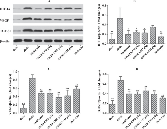 Effect of SWJH on renal HIF-1α, VEGF and TGF-β1 expression. ( A – D ) Western blot analyses of HIF-1α, VEGF and TGF-β1 protein levels. ** P