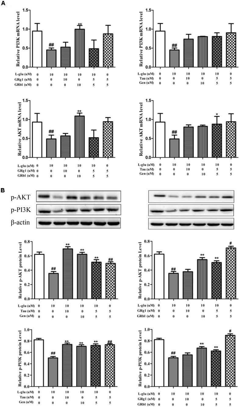 Effects of Taurine, Geniposide, GRg1, and GRb1 in LP on L-Glu-damaged PC12 and normal PC12. (A) The PI3K and AKT mRNA level by RT-QPCR. (B) The p-AKT and p-PI3K protein level. β-Actin was measured as an internal control. The results are representative of three independent experiments. ∗ P