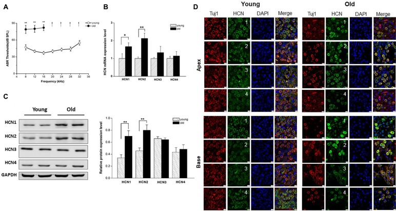 Increased expression of hyperpolarization-activated cyclic nucleotide-gated 1 (HCN1) and HCN2 in spiral ganglion neurons (SGNs) of old mice. (A) Auditory brainstem response (ABR) hearing thresholds were measured from young and old mice ( n = 8). Arrows indicate that thresholds exceeded the upper limits of the tucker davis technologies (TDT) ABR system. (B) Real-time PCR of HCN subunits in SGNs from young and old mice, showed a significant increase of HCN1 and HCN2 at the mRNA level in old mice ( n = 6). (C) Western blotting showed HCN1 and HCN2 expression level was significantly increased in the SGNs of old mice, but HCN3 and HCN4 were unchanged ( n = 4). Data are means ± SEM, * p