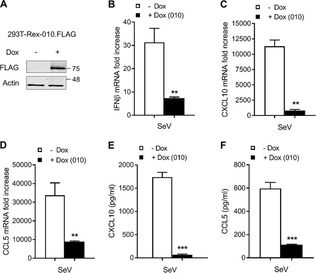 ANK/BC proteins suppress the production of CXCL10, CCL5, and IFN. (A) HEK293T-REx cells were induced with 2 μg/ml of doxycycline (Dox) for 16 h and subjected to immunoblotting against the indicated proteins. (B to D) The cells were induced with Dox as described for panel A and subsequently stimulated with SeV for a further 24 h. RNA expression levels for (B) IFN-β, (C) CXCL10, and (D) CCL5 were measured by quantitative PCR (qPCR). Data were normalized to 18S expression levels; data represent fold increase over the levels seen under nonstimulated conditions. (E and F) The cells were treated as described for panel B, and the resulting cell culture medium was subjected to ELISA to detect soluble levels of (E) CXCL10 and (F) CCL5. In all assays, data are presented as means ± SD and represent results from one experiment that is representative of at least three, each performed in triplicate. **, P