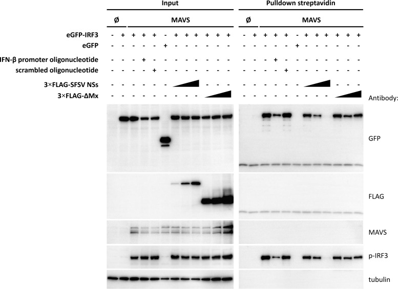 IFN-β promoter binding assay. HEK293 cells were cotransfected with plasmids encoding eGFP-IRF3 or eGFP or MAVS, as well as with increasing amounts of plasmids encoding 3×FLAG-tagged SFSV NSs, or the 3×FLAG-tagged control protein ΔMx, as indicated. Cell lysates were then incubated with an unlabeled, double-stranded DNA oligonucleotide comprising the IFN-β promoter or with a scrambled control oligonucleotide or were left untreated. Next, streptavidin-coated magnetic beads covered with biotinylated IFN-β promoter oligonucleotide were used to pull down activated IRF3. Bound proteins were eluted by boiling in Laemmli buffer and analyzed by immunoblotting.