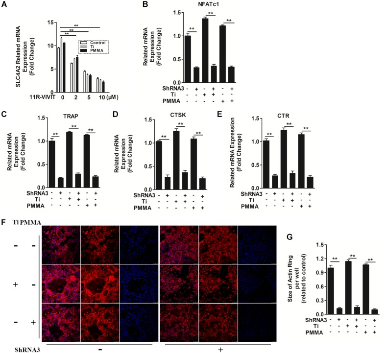 The mechanism of SLC4A2 in wear particle-induced osteoclast differentiation and function. (A) <t>11R-VIVIT,</t> an inhibitor of NFATc1 suppressed up-regulation of Slc4a2 expression during wear particle-induced osteoclastogenesis. (B) Expression of Nfatc1 was inhibited by knockdown of Slc4a2 with shRNA3 unexpectedly. (C–E) Suppression of osteoclast-specific gene expression ( Trap , Ctsk , Ctr ) with knockdown of Slc4a2 with shRNA3. (F) Knockdown of Slc4a2 , using shRNA3, inhibits F-actin ring formation in vitro . (G) The size of F-actin rings, measured using ImageJ ( ∗ P