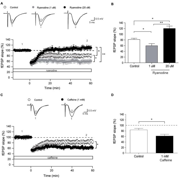 Stimulatory and inhibitory ryanodine concentrations and caffeine modify the long-term depression (LTD) response. (A) Time course of fEPSP slopes recorded (CA3–CA1) before and after application of the low frequency stimulation (LFS) protocol to control hippocampal slices (14, 4) or to slices treated with 1 μM ryanodine (14, 3) or 20 μM ryanodine (13, 4). Representative fEPSP traces recorded 1–5 min before (trace 1) and 60 min after applying the LFS protocol (trace 2) to control slices, or recorded in slices treated with 1 μM or 20 μM ryanodine are shown on top of the graph. Open symbols: control slices; gray symbols: slices treated with 1 μM ryanodine; black symbols: slices treated with 20 μM ryanodine. (B) Average magnitudes of fEPSP slopes recorded during the last 10 min after stimulation. (C) Time course of fEPSP slopes recorded (CA3–CA1) before and after application of the LFS protocol to control hippocampal slices (15, 3) or to slices treated with 1 mM caffeine (12, 4). The first number in parentheses indicates the number of hippocampal slices and the second the number of animals used. Representative fEPSP traces recorded 1–5 min before (trace 1) and 60 min (trace 2) after applying the LFS protocol to control slices and to slices treated with 1 mM caffeine are shown on top of the graph. Open symbols: control slices; black symbols: slices treated with 1 mM caffeine. (D) Average magnitudes of fEPSP slopes recorded during the last 10 min after stimulation of control or caffeine-treated slices. Values represent Mean ± SE. Statistical significance of values was assessed by Mann-Whitney test (* p