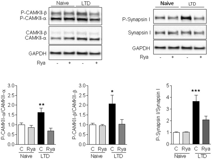 LTD-induced phosphorylation of CaMKII and Synapsin I. Induction of LTD for 60 min in control (C) slices caused a significant increase in the phosphorylation levels of Synapsin I (left panels), CaMKII-α (center panels) and CaMKII-β (right panels) relative to the levels displayed by unstimulated slices (naïve). Slices pre-incubated for 1 h with 20 μM <t>ryanodine</t> (Rya) before applying the LTD induction protocol displayed significantly lower increments in the phosphorylation levels of Synapsin I and CaMKII-α, whereas the phosphorylation levels of CaMKII-β were not significantly different from the levels displayed by unstimulated slices. Values represent Mean ± SE ( n = 3). Statistical analysis was performed with one-way ANOVA, followed by Tukey's post hoc test. * p
