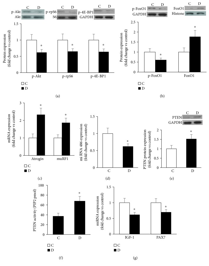 Diabetes alters key signaling molecules involved in skeletal muscle mass regulation. (a) Representative immunoblots and quantifications of phosphorylated Akt, S6, and 4E-BP1 protein levels in muscles of control and GK diabetic rats. (b) Total phosphorylated levels of FoxO1 and its nuclear localization relative to <t>GAPDH</t> and histone, respectively, were analyzed by Western blot. (c) Expression of MuRF1 and Atrogin 1 mRNAs relative to GAPDH was examined by real-time PCR. (d) Expression of miRNA 486 relative to U6 was determined using real-time PCR (e) PTEN protein level (e) and activity (f) were measured as described in Materials and Methods. (f) Key regulators of myogenesis including IGF-1 and <t>PAX7</t> (g) were assessed in muscle using real-time RT-PCR-based technique. Abbreviation: C: control; D: diabetic. Values are means ± SEM for at least 6 animals/group. ∗ Significantly different from corresponding control values at P ≤ 0.05.