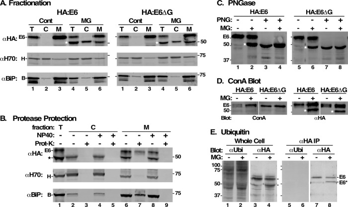 Characterization of MG132 protected species. All analyses were performed after RNAi silencing (24 h) of endogenous TfR. All MG132 treatments were for 2 h at 25 μM. (A) HA:E6- and HA:E6ΔG-expressing cells were incubated without (Cont) or with MG132 (MG). The cells were hypotonically lysed and total (T), cytoplasmic (C), and membrane (M) fractions were prepared. All fractions (10 7 cell equivalents/lane) were analyzed by immunoblotting with anti-HA (αHA), anti-Hsp70 (αH70, cytoplasmic marker), or anti-BiP (αBiP, ER marker). (B) Cell fractions prepared from MG132-treated HA:E6 cells were treated with proteinase K (Prot-K) as indicated in the absence or presence of NP40. Samples (10 7 cell equivalents/lane) were immunoblotted with anti-HA, anti-Hsp70, and anti-BiP. (C–E) HA:E6- or HA:E6ΔG-expressing cells were incubated without (-) or with (+) MG132 treatment. (C) Cells were solubilized under denaturing conditions and each was split into two equal fractions (10 7 cell equivalents). One set was mock-treated (-) and the other digested (+) with PNGase F (PNG). Samples were analyzed by immunoblotting with anti-HA. (D) Lysates were immunoprecipitated with anti-TfR antibodies (10 7 cell equivalents/precipitate) covalently cross-linked to Protein A sepharose. One set (right) was immunoblotted with anti-HA (αHA) and the other blotted with biotinylated ConA (left). Mobilities of E6 and molecular mass markers (kDa) are indicated on the left. White strip indicates digital reordering of lanes after image processing. Stars in A–D indicate mobility of MG132-protected E6 or fully deglycosylated species. (E) Total extracts of HA:E6-expressing cells were prepared in SDS sample buffer, and lysates for immunoprecipitation were prepared identically to GPI-PLC-lysates in Figure 8 to minimize deubiquitinating activities. Total cell extracts (lanes 1–4) and anti-HA immunoprecipitates (lanes 5–8) were immunoblotted (10 7 cell equivalents/lane) sequentially with anti-ubiquitin and anti-HA on th