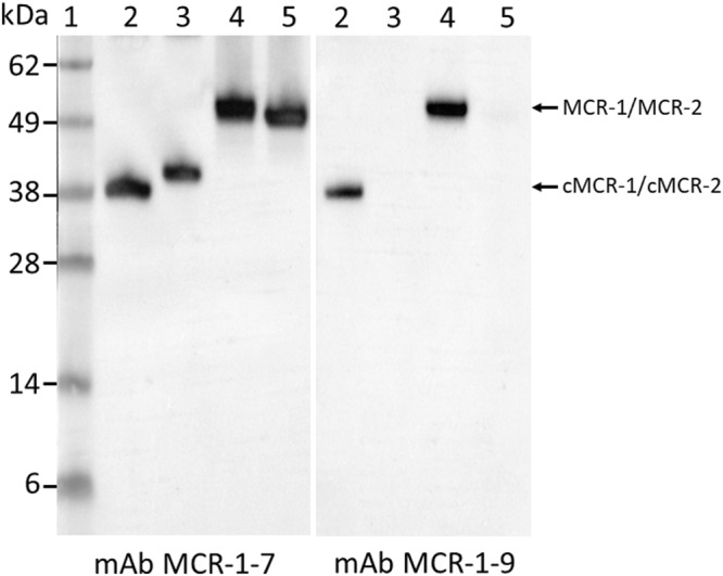 Cropped Western blot of mAb reactivity to MCR-1 and MCR-2. Lane 1, Protein markers with molecular weights (kDa) indicated at the left; Lane 2, Purified cMCR-1 with His-tag removed (0.2 µg); Lane 3, Purified cMCR-2 with His-tag on (0.2 µg); Lanes 4 and 5, Purified His-full-length MCR-1 and His-full-length MCR-2. Blots were probed with indicated mAbs following SDS-PAGE under non-reducing condition. The expected sizes MCR-1 and MCR-2 proteins are indicated at the right side of the blot. Full-length blots are presented in Supplementary Fig. S3 .