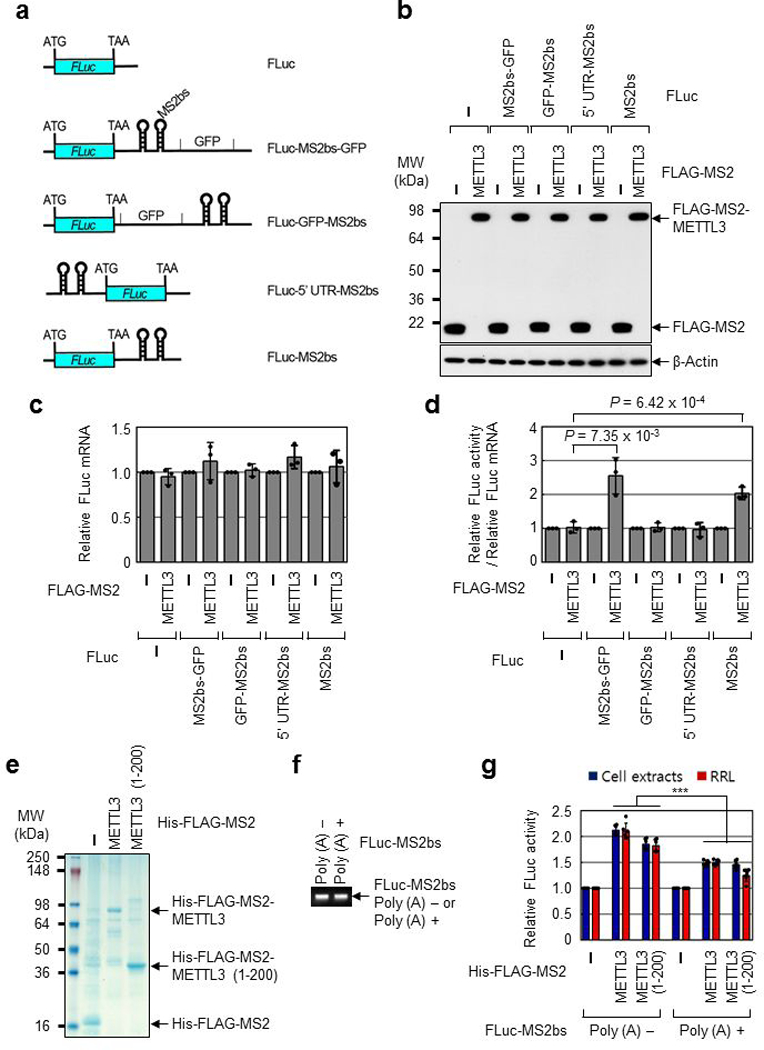 METTL3 binding close to the stop codon enhances translation. a, Schematic diagram of reporter plasmids containing Firefly luciferase cDNA and different positions of MS2 binding sites. b, Western blotting with indicated antibodies. Two independently performed experiments show similar results. c, qRT-PCR analysis of reporter mRNAs. Each tested reporter mRNAs were normalized to RLuc mRNAs. The FLuc:RLuc ratio for each construct with FLAG-MS2 expression was set to 1. Error bars represent mean ± SD; n = 3 biologically independent samples. d, Tethering assay to measure translation efficiency as described in ( Fig. 1h ). Error bars represent mean ± SD; n = 3 biologically independent samples; two-sided t-test. e, Colloidal Coomassie blue staining of recombinant protein His-FLAG-MS2, His-FLAG-MS2-METTL3, or His-FLAG-MS2-METTL3 (1-200). Two independently performed experiments show similar results. f, Ethidium bromide-stained agarose gel electrophoresis of the indicated in vitro transcribed reporter mRNAs; FLuc-MS2bs without poly (A) tail (Poly (A) -) or FLuc-MS2bs with 30nt poly (A) tail (Poly (A) +). Two independently performed experiments show similar results. g, In vitro translation of reporter mRNAs using either H1299 cell extracts or Rabbit reticulocyte lysate (RRL). The levels of in vitro -translated FLuc protein were analyzed using luciferase assays. Value of FLuc activity in the presence of His-FLAG-MS2 recombinant protein was set to 1.0. Error bars represent mean ± SD; n = 6 independent experiments. Two-sided t-test, *** denotes multiple comparison for the p-values showing P