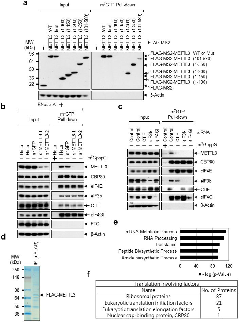 METTL3 associates with translation initiation factors. a, Deletion mutants of METTL3 were expressed in HeLa cell. The total-cell extracts (Input) and the cap-associated protein samples were analyzed by Western blotting using the indicated antibodies. Two independently performed experiments show similar results. b, Cap-association assay with METTL3 depletion. The total-cell extracts (Input) and the cap-bound protein samples were analyzed by Western blotting using the indicated antibodies. m 7 GpppG cap analogue was used for antagonizing cap-associating proteins binding to m 7 GTP-Agarose. Two independently performed experiments show similar results. c, Same as ( b ) except HeLa cells were transfected with CTIF, eIF3b or eIF4GI siRNA. Two independently performed experiments show similar results. d-f, Mass spectrometry of FLAG-METTL3 interacting proteins. d, Proteins that were co-immunopurified with FLAG-METTL3 subjected to 4-12% Tris-Glycine SDS-PAGE. Colloidal Coomassie blue staining was performed. n=1 independent experiment. e, Gene ontology analysis of the identified proteins from Mass spectrometry. n=1 independent experiment. Hypergeometric distribution (one-tail) with Bonferroni adjustment was used to determine enrichment statistical significance. f, Table showing the translation involving factors identified from Mass spectrometry.