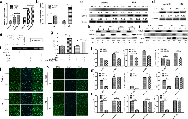 STAT1 mediates E2F2 regulation of interleukin (IL)-1α, IL-1β, and tumor necrosis factor (TNF)-α expression. a – d Effect of E2F2 on STAT1. E2F2 was overexpressed by adenovirus infection or inhibited by small interfering RNA (siRNA) with or without lipopolysaccharide (LPS; 10 μg/mL). qRT-PCR ( a , b ) and Western blot ( c , d ) were performed to detect expression of STAT1. e Schematic representation of STAT1 promoters, primers for the ChIP assay, and the E2F2 binding motif in the STAT1 promoter. ChIP ( f ) and luciferase (Luc) reporter assays ( g ) were performed to show that E2F2 was recruited to the STAT1 gene promoter in RASFs in the presence of LPS. Nuclear and cytoplasmic proteins were fractionally extracted from E2F2 knocked-down RASFs ( h ) and E2f2 −/− MEFs ( i ). Effects of E2F2 on nuclear translocation of STAT1 were determined by Western blot. (Lamin A/C as a reference for nuclear extraction (N); Tubulin as a reference for cytoplasmic extraction (C).) Effect of E2F2 on nuclear translocation of STAT1 was observed using confocal fluorescence microscopy both in E2F2-silenced RASFs ( j ) and E2f2 −/− MEFs ( k ). STAT1 (green) was detected using anti-STAT1 antibody. Nuclei were stained with DAPI (blue). l In E2F2-overexpressing RASFs, IL-1α, IL-1β, and TNF-α were analyzed by qRT-PCR after silencing STAT1 in the presence of LPS stimulation (10 μg/mL). m In STAT1-overexpressing RASFs, IL-1α, IL-1β, and TNF-α were analyzed by qRT-PCR after silencing E2F2 in the presence of LPS stimulation (10 μg/mL). n In E2f2 −/− MEFs, expression of IL-1α, IL-1β, and TNF-α was detected using qRT-PCR after STAT1 overexpression in the presence of LPS stimulation (10 μg/mL). The results shown are means ± SEM of three independent experiments performed in triplicate. * P