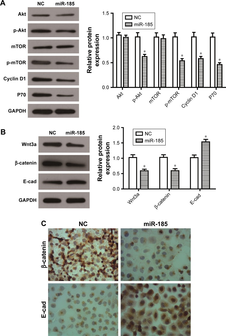 Overexpression of miR-185 suppresses the PI3K/Akt/mTOR and Wnt/β-catenin pathways in RD-ES cells. Notes: After transfection for 48 hours, Western blot assays of PI3K/Akt/mTOR pathway-related proteins ( A ) and Wnt/β-catenin pathway-related proteins ( B ) were conducted in RD-ES cells. Levels of proteins were normalized to GAPDH, and the relative expression of the corresponding protein in miR-185 overexpressed cells was normalized to the NC. ( C ) After transfection for 48 hours, immunohistochemistry assay was performed to detect the expression of β-catenin and E-cad. The magnification was ×400. Data are presented as the mean ± standard deviation (n=3). Results were obtained in three replicates. miR-185, transfected with pCMV-MIR-miR-185 vector; NC, negative control, transfected with pCMV-MIR empty vector. * P
