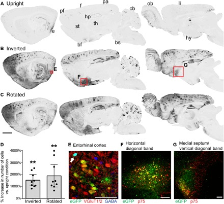 Inversion and rotation greatly enhance gene transfer to the brain after intrathecal AAV9 infusion. ( A to C ) GFP labeling in 40-μm-thick sagittal brain sections in rats that received intrathecal AAV9-CAG-eGFP, and (A) remained upright for 2 hours, (B) were inverted for 2 hours or (C) were rotated for 2 hours after surgery. From left to right, sections are 0.5, 2.5, and 4.5 mm lateral from bregma. Both inversion and rotation substantially increased gene transfer to entorhinal (e), prefrontal (pf), frontal (f), parietal (pa), and limbic (li) cortices, as well as hippocampus (hp), basal forebrain (bf), cerebellum (cb), and olfactory bulb (ob). There was minimal gene transfer to striatum (st), thalamus (th), hypothalamus (hy), and brainstem (bs). Scale bar, 2 mm. ( D ) The average increase in the number of GFP-positive cells per section in inverted or rotated animals relative to upright animals is shown for nine brain regions: prefrontal, frontal, parietal, entorhinal, and limbic cortices, as well as hippocampus, subiculum, horizontal diagonal band, and medial septum/vertical diagonal band. Inversion and rotation increased the number of GFP-positive cells by an average of 1520 and 1890%, respectively, relative to upright animals. This increase was highly significant as determined by Friedman test ( P = 0.0003) and Tukey's post tests. Error bars represent the 95% confidence interval. ** P ≤ 0.01. ( E ) Following inversion for 2 hours, 73.0% of transduced neurons in the entorhinal cortex are excitatory glutamatergic neurons, and 27.0% are inhibitory GABAergic neurons (arrow). The image is a single optical section acquired with structured illumination. ( F ) In the cholinergic basal forebrain, inversion for 2 hours induces GFP expression in 22.5% of cholinergic neurons in the horizontal diagonal band and ( G ) 13.9% of cholinergic neurons in the medial septum/vertical diagonal band (MS/VDB), based on colocalization with p75. Scale bars, 100 μm (E to G).